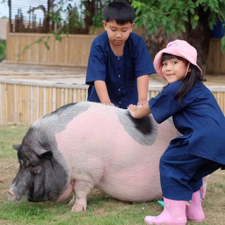 Pig Petting Farm by Little Fields Pattaya